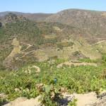 Nuestra viña del cañon del Bibei
