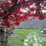 Membrillero en flor